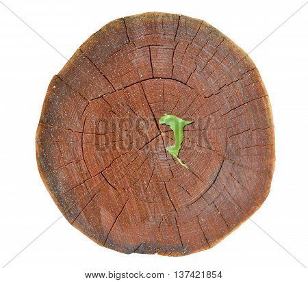 A close up of the cut of an cork tree (Phellodendron amurense). Isolated on white.