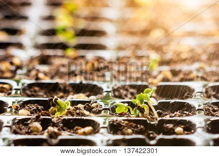 Young  Plant Chinese Kale In Seedling Tray On Falling Rain Day.