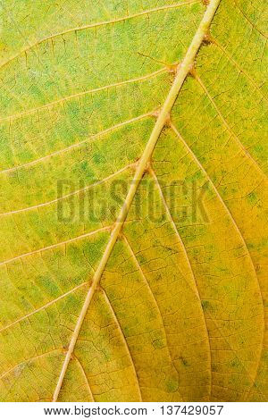 Close Up View Of Autumn Walnut Tree Leaf As Background