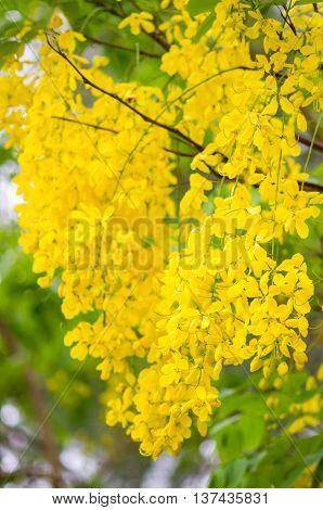 Cassia Fistula Or Golden Shower Flower