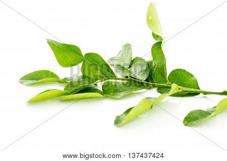 Kaffir Lime Fresh Leaf
