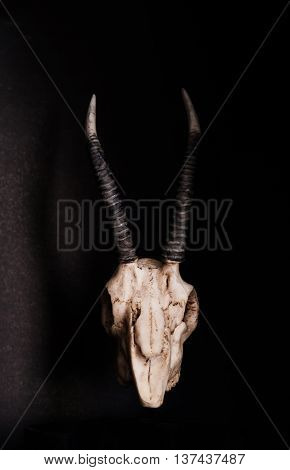 Low key, Skull of goat on black background, front view