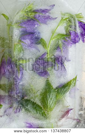 Frozen fresh beautiful flower of jessamine campanula and air bubbles in the ice cube