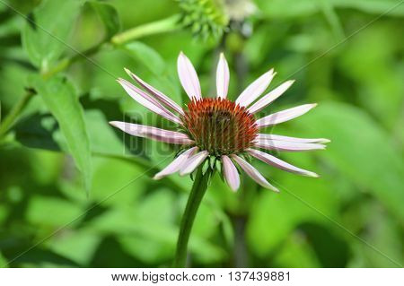 A coneflower blooming in the garden during summer