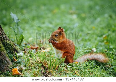 squirrel eating a nut on grass