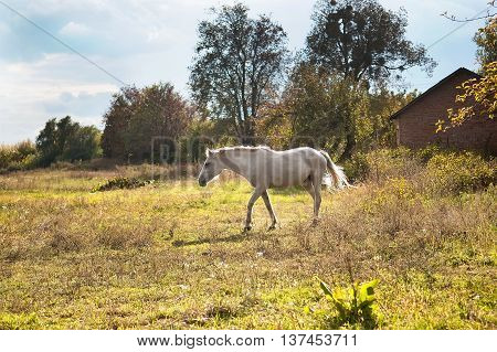 White horse on a autumn pasture. Beautiful horse outside the stable.