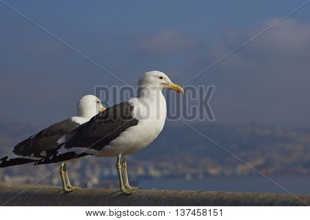 Kelp Gulls (Larus dominicanus) perching on a railing at the fish market in the UNESCO World Heritage port city of Valparaiso in Chile.