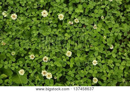 Green clover grass with white flowers natural background.