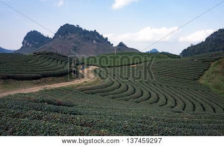 MOC CHAU, VIETNAM, August 12, 2015 long tea hills, upland areas Moc Chau, Son La Province