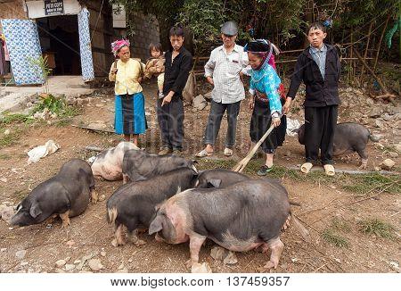 HA GIANG, VIET NAM, January 14, 2016 people groups, ethnic Hmong, Ha Giang mountainous region, selling pigs, Dong Van market, Ha Giang