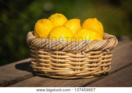 Six freshly picked bright yellow Corsican lemons in a wicker basket sat on a wooden bench in a garden