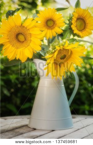Four large brightly coloured sunflower heads in bloom in a light blue enamel jug sitting on a wood table with foliage behind