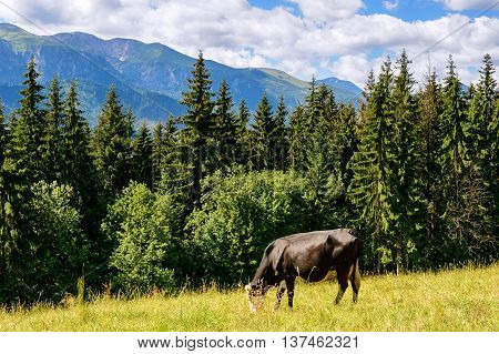 Cow grazing on the hillside (polish mountains)