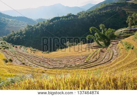 YEN BAI, VIETNAM, July 18, 2015 terraced rice fields, ripe, high mountains, Mu Cang Chai, Yen Bai Province, Vietnam. At harvest time