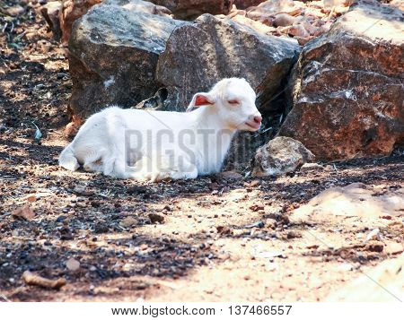 Small white goat lying in the sun in the forest