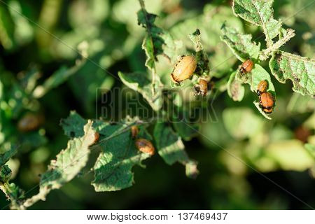 Colorado Beetles Eating Potato Plant