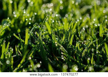 Close up from green fresh grass with waterdrops