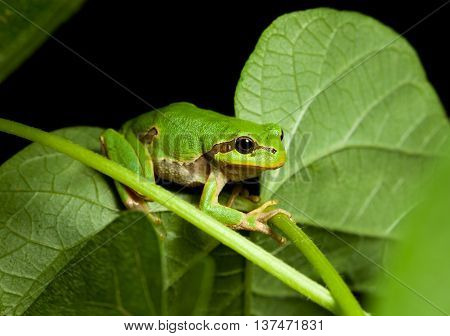 Little Green Tree Frog Climbing On Leaf