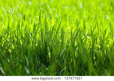 Macro Of Green Grass