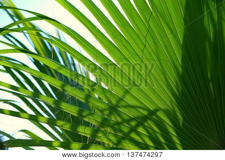 Palm Leaf radius for web page or background