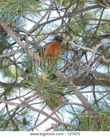 Robin In Pine Tree