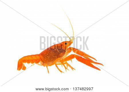 Mexican Orange Crayfish