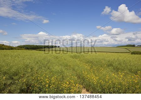 Canola Crop With Flowers