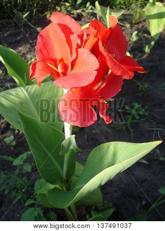 Canna hybrid 'President' red flowers on a sunny day.