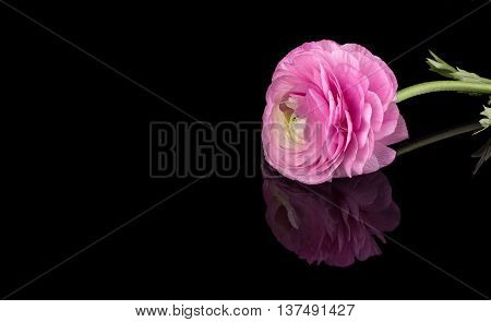 Pink ranunculus isolated on a black background