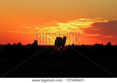Camels meet fiery sunrise in the desert.