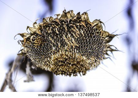 Dead sunflower head harvest, dry seeds and winter landscape