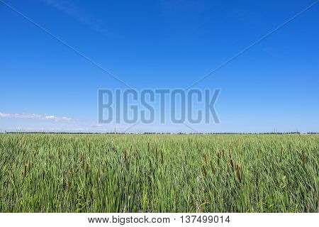 Marsh Filled with Cattails Against the Big Blue Sky