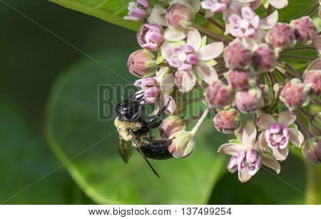 A Honey Bee on Milkweed Flowers Closeup