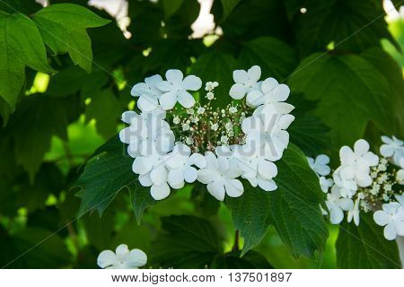 Flowers of Snowball tree Viburnum opulus. White flowers of guelder-rose