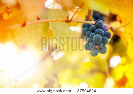 Vineyards At Sunset In Autumn Harvest Season, Warm Yellow Sunbea
