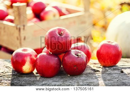 Red Group Of Apples Form Autumn Golden Harvest. Organic Fruits A