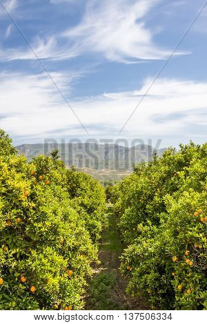 A grove of oranges on a farm in central California.