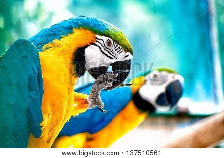 Pair Of Macaw Parrots In The Wild With Tropical Jungle Backgroun