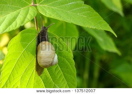 Slow snail on the green leaf, close-up