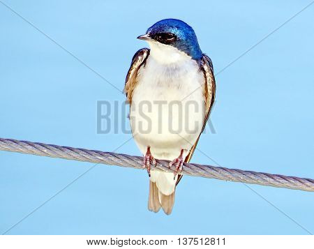 The Barn Swallow in Humber Bay Park on bank of Lake Ontario in Toronto 31 May 2016 Canada