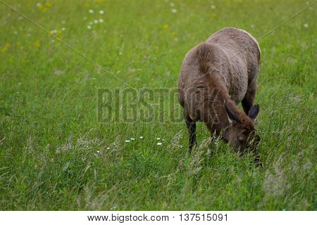 Female Elk with Copy Space to Left in green meadow