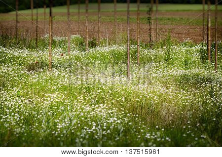 White Daisy Summer Field With Straight Trees