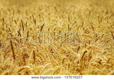Photo of the Wheat Field Golden Background