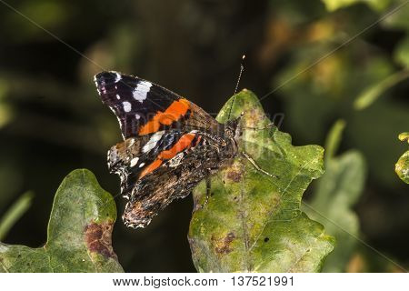 A red admiral is sitting on a leave