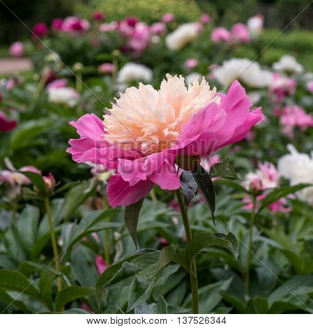 Pink peony in the garden. Pink peony in the garden. Peony - large bright crimson burgundy white pink or yellow flower. Its form varies depending on the variety: the lush terry or like outlet.