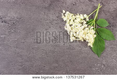 Elderberry Flowers With Leaves On Structure Of Concrete, Copy Space For Text