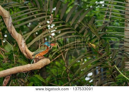 Green-backed Kingfisher bird in Tangkoko National Park. North Sulawesi. Indonesia