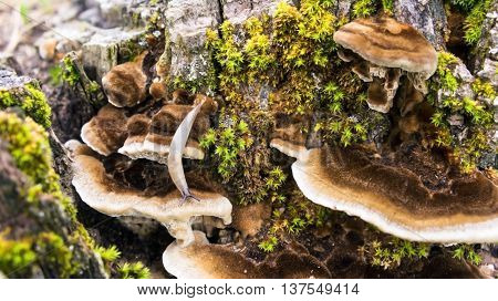 the old large dark gray stump grow moss green and fluffy brown and white mushrooms parasites brown shades, close-up,  crawling slug next growing  fungus parasite