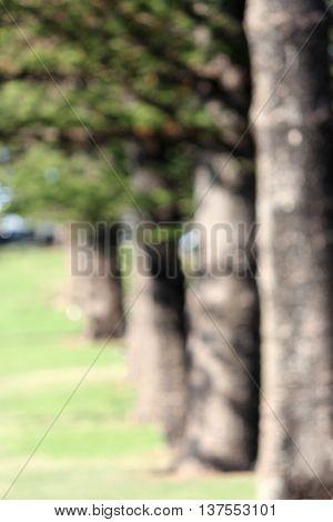 Soft Focus line of Norfolk Pines