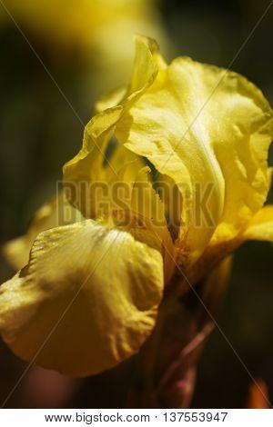 yellow spring flowers in a garden. iris flower